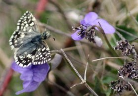 Grizzled Skipper on violet