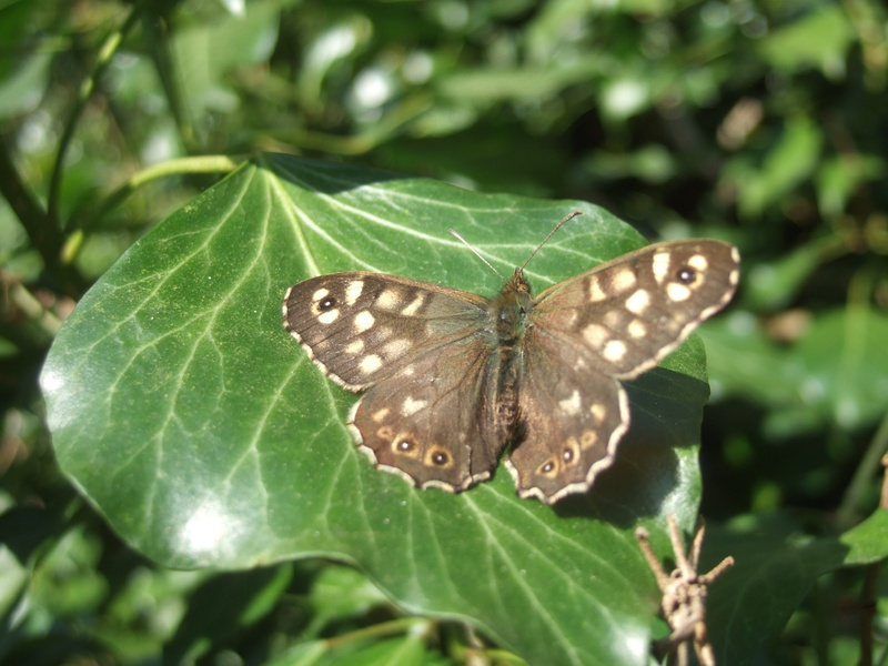 Speckled Wood (tircis, spring)