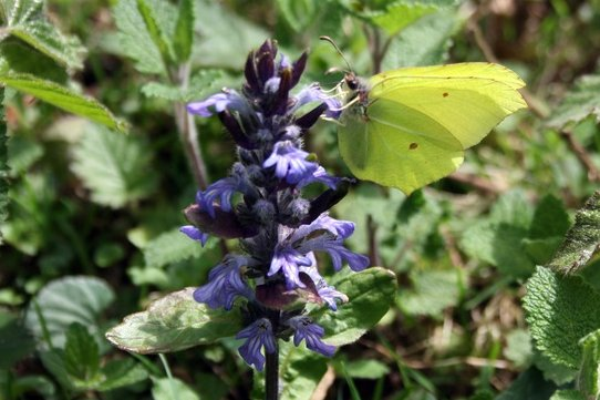 Brimstone (male)