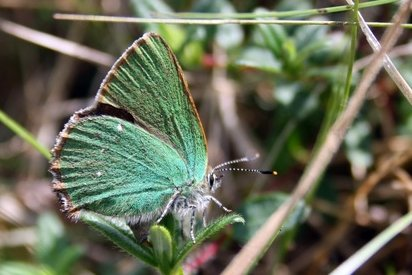 Green Hairstreak (male)